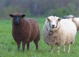 El color de las ovejas de Belén 1
